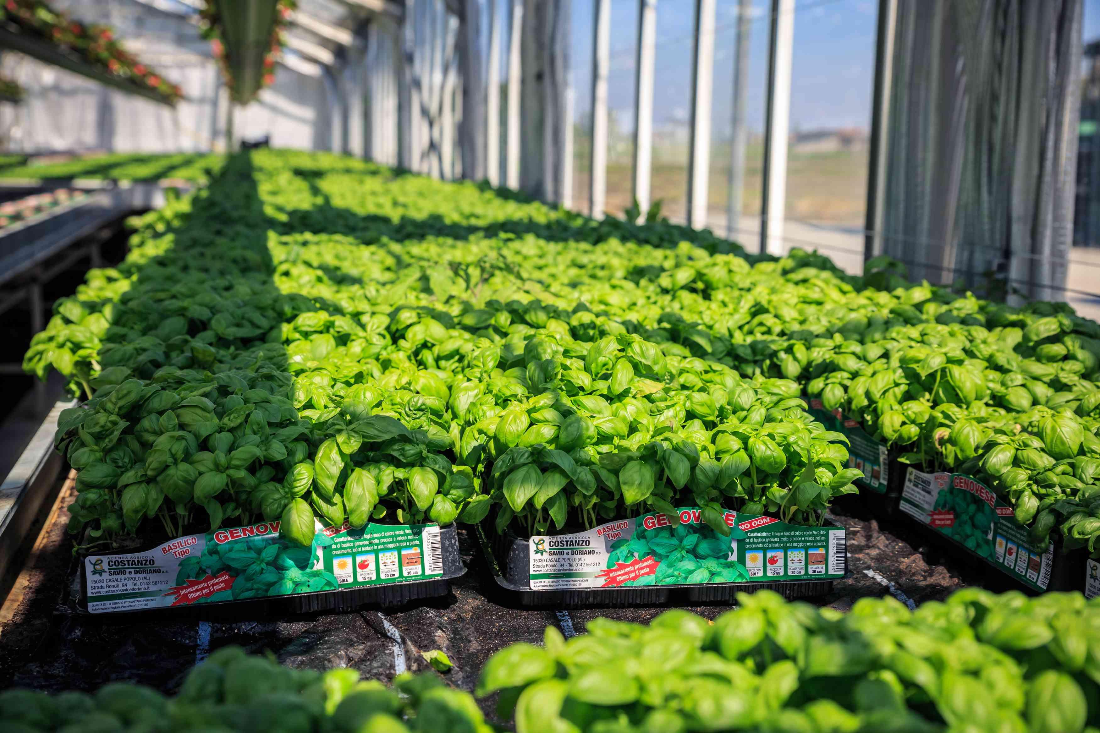 Azienda Agricola COSTANZO SAVIO E DORIANO - piante per orto